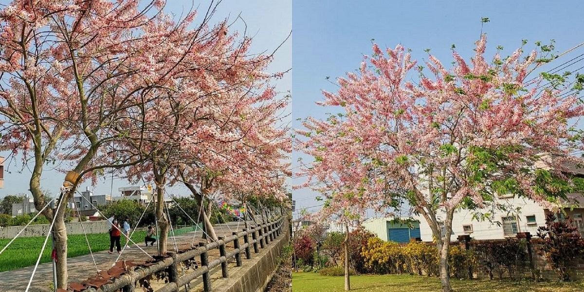 金砂村花旗木步道|粉紅秘境美炸了