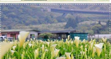 『竹子湖』潔白海芋盛開中,親子同遊陽明山採海芋吧!