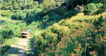 『金針花季』最新賞花點,石門江豐農果園,梯田金針花海。