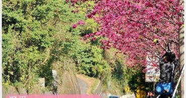 『櫻花前線』新社129縣道,無料放送的櫻花林。(2/12花況)