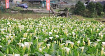 陽明山竹子湖海芋季 | 季節限定色!浪漫白色海芋花田美麗盛開中~