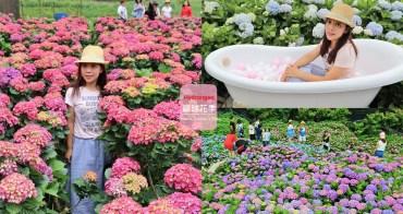繡球花季》2020竹子湖繡球花季開跑,6家必訪繡球花田大公開~