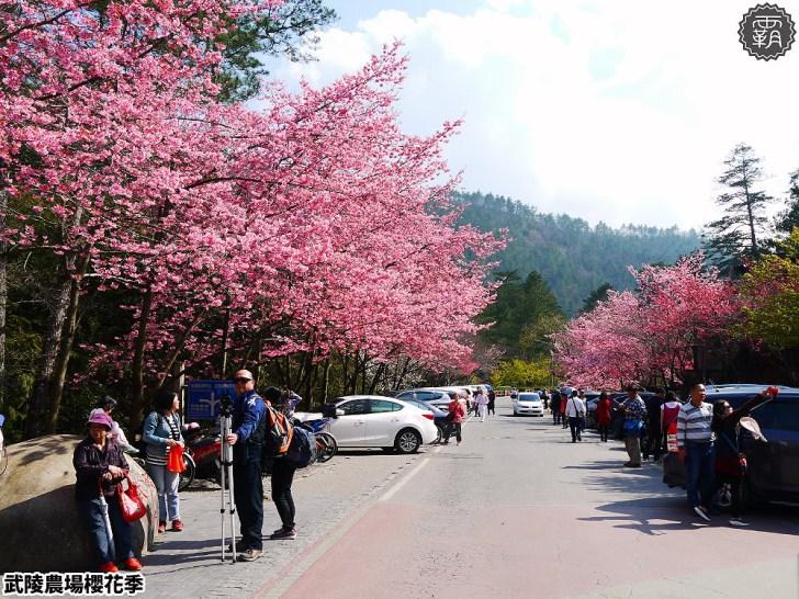 20190117222202 11 - 2019武陵農場櫻花季,賞櫻專車懶人包,含管制日期、各路線車票資訊。