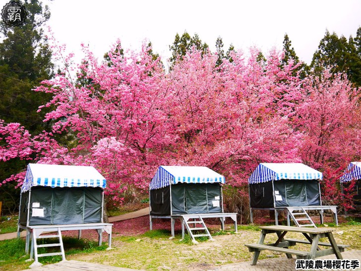 20190117225714 34 - 2019武陵農場櫻花季,賞櫻專車懶人包,含管制日期、各路線車票資訊。