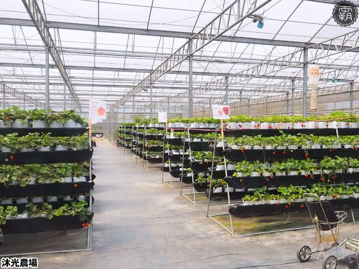 20190405214240 90 - 白草莓、水蜜桃草莓好特別!沐光農場,溫室高架草莓園,採草莓超舒適!