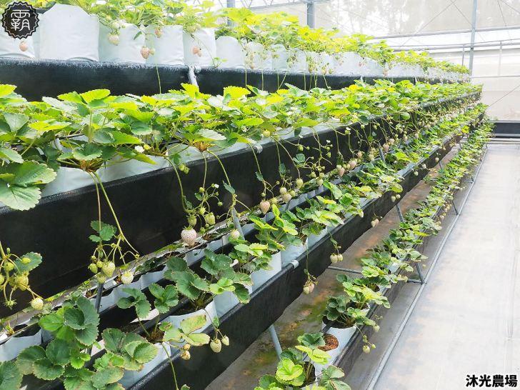 20190405214838 75 - 白草莓、水蜜桃草莓好特別!沐光農場,溫室高架草莓園,採草莓超舒適!