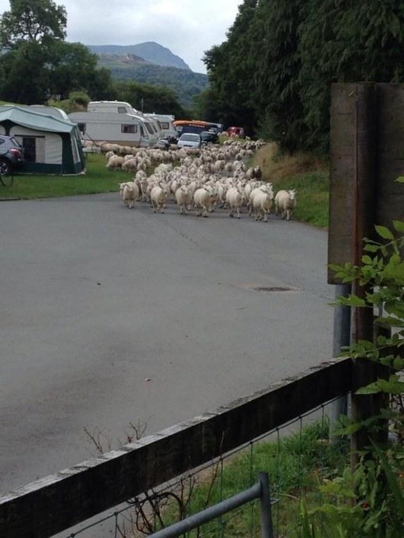 Campsite animal invasions in the UK: