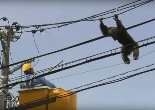 Even after being shot by a tranquilizer, the chimp struggled to make his escape.