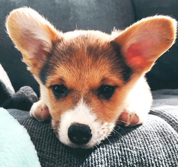 This is Elly. She's a 3 month old corgi.