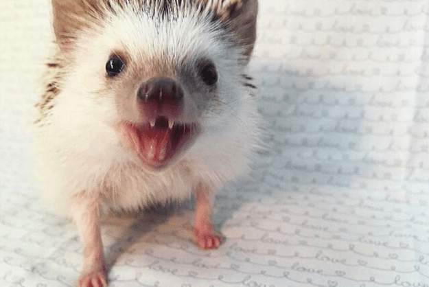 Meet Huff, a-three-year-old rescue African Pygmy hedgehog who has become a famous Instagram model because of his adorable protruding two front teeth.