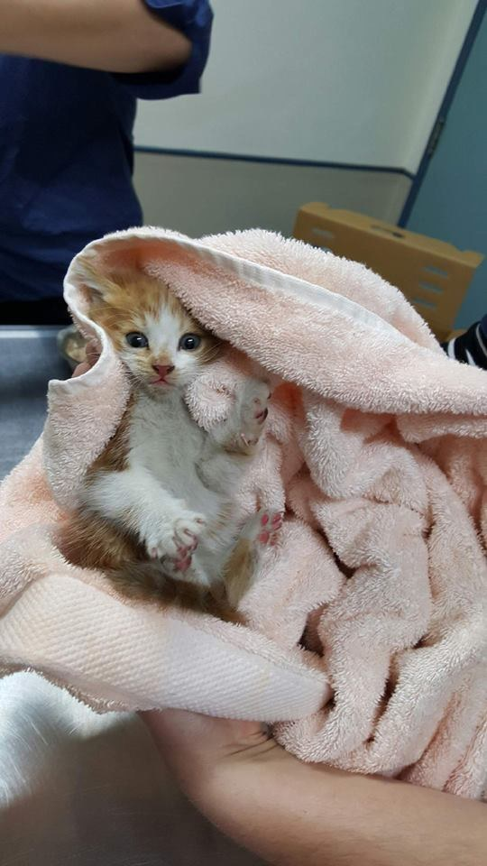 This is five-week-old kitten, Honda, named after the car he was rescued from overnight after his owner went for a drive not knowing Honda was hiding in the engine bay.
