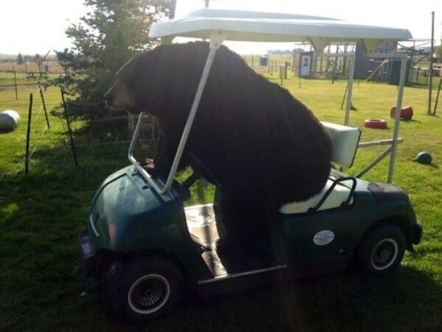 This bear trying to get in 18 holes before the sun goes down: