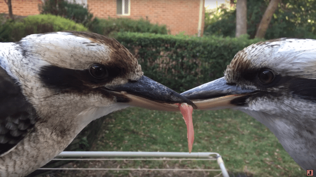 Redditor freshAU was being a kind human and feeding his wild kookaburra pals some tasty meat morsels when two snagged the same piece and refused to let go. For more than 30 minutes.
