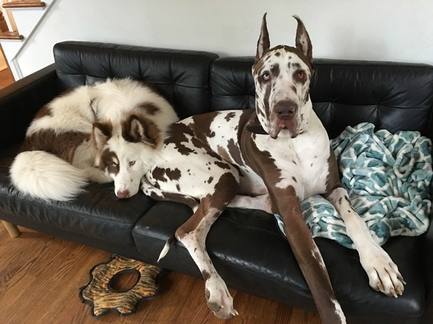 This Great Dane who doesn't care if there's enough room for her puppy pal on the couch.