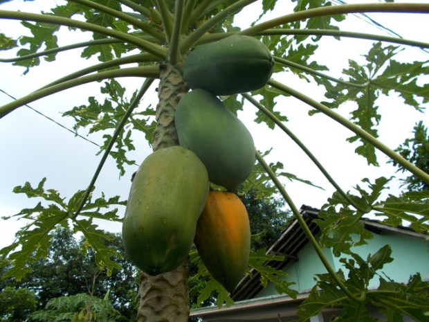 Papayas grow like bananas in a cluster on a tree.