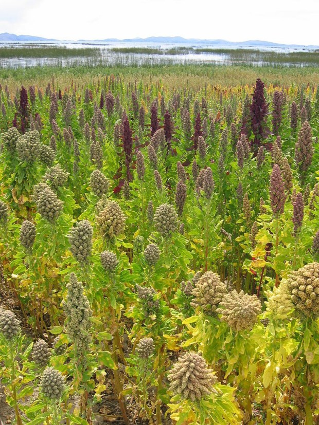 Quinoa is the edible seeds of this plant.