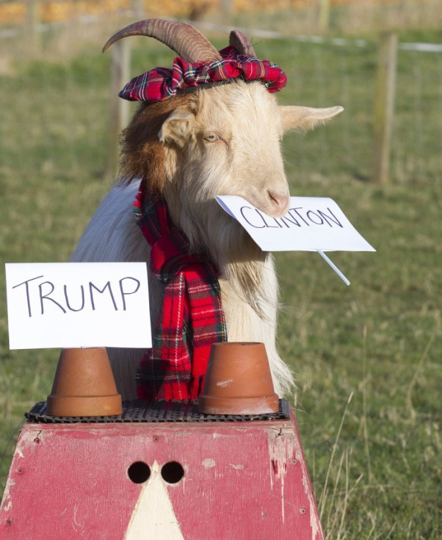Boots the Goat: Hillary Clinton Wins!
