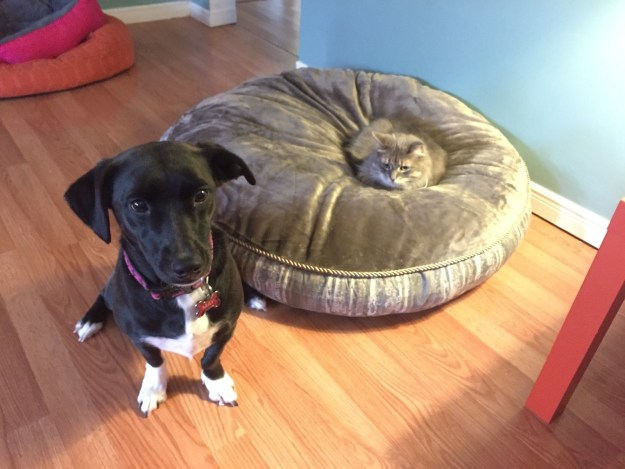 """This lazy cat who's like, """"Nah. Fuck you, dog, this is MY bed."""""""