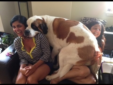 The benefit of them being so big is that they can cuddle two humans at once.