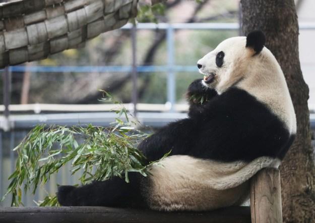 2011年2月、同い年のパートナー・リーリーと一緒に中国から上野動物園にやってきたシンシン。