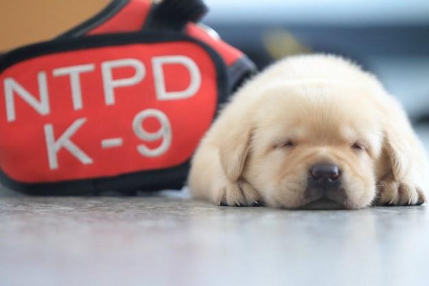 台湾の新北市警察が発表したあるチームの新メンバーが、ネットで大人気になっている。街に仕え、街を守るチームの一員となったのは、6匹の子犬。犬種はアメリカンラブラドール。