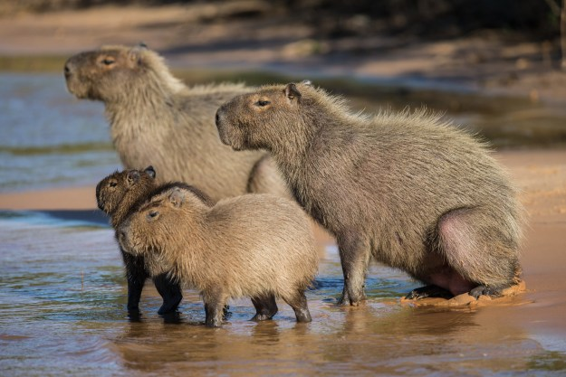 """""""Capybaras were once classified by the Catholic Church as 'fish' and may be eaten during lent."""""""
