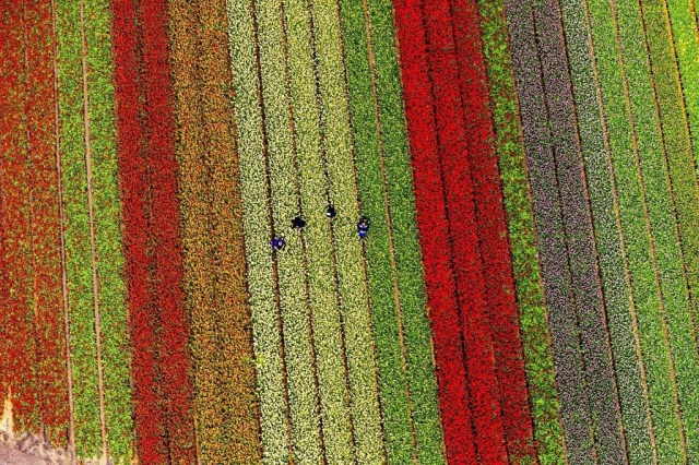 It maintains up to 800 varieties of tulips.