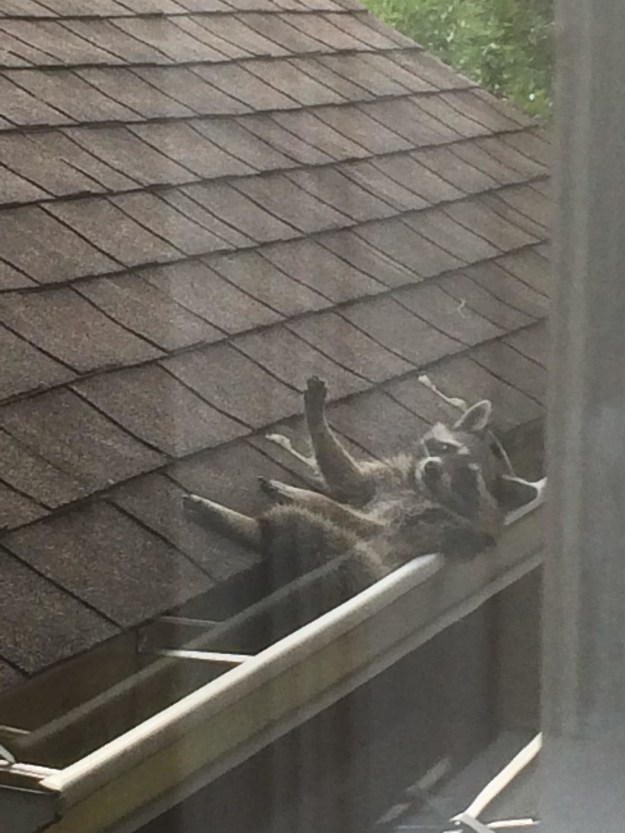 This raccoon that's actually using a rain gutter as a hammock.