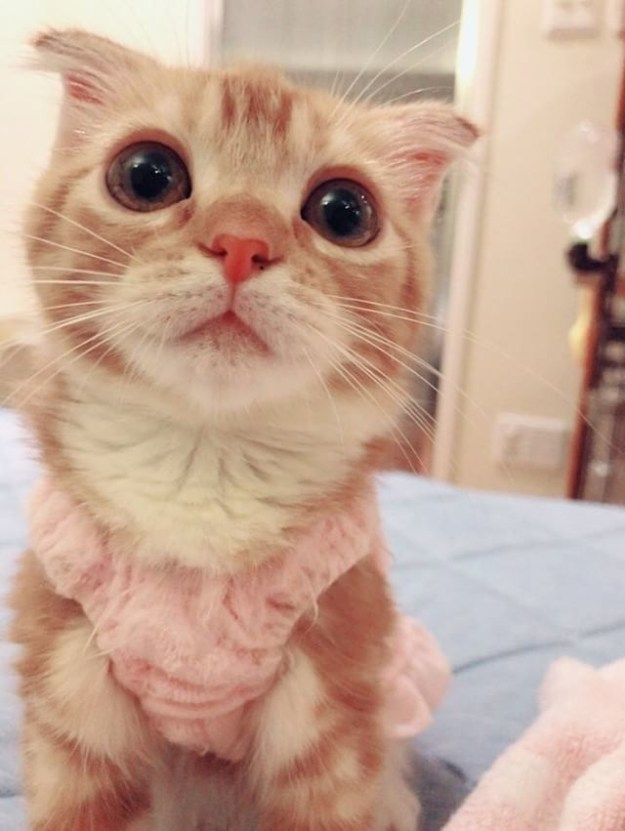 This is Rui, a three-month-old Scottish Fold who lives in Tokyo, Japan.