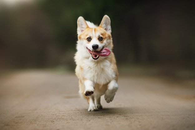 Oh, corgis look ridiculous when they run?