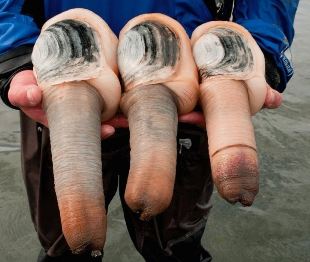 Neither are these geoducks: