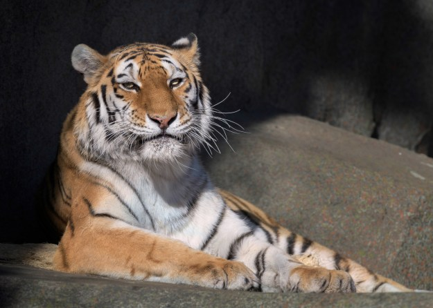 There are about half as many pet tigers living in Texas as there are in the wild.