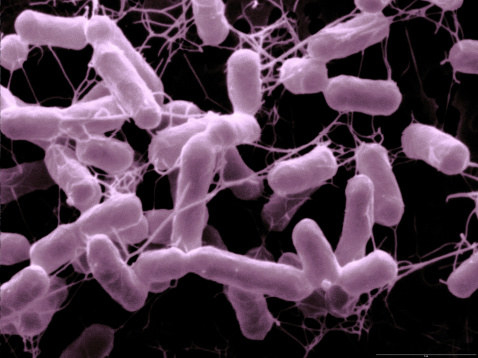 Salmonella bacteria affect the gastrointestinal tract, and people usually get sick from ingesting contaminated food or water.