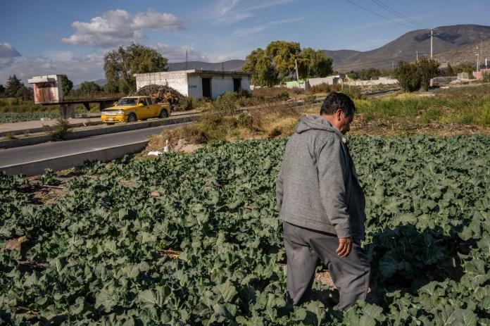 Hilario Cruz looks for contaminated broccoli.