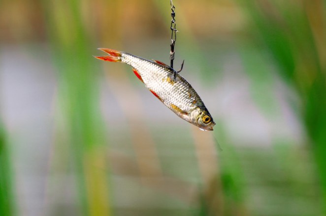 You don't want to accidentally introduce foreign bodies into the water, and it'll work as better and more convincing bait as well.If you're a trout fisher, definitely try using crickets and grasshoppers as bait — they go crazy for the stuff.