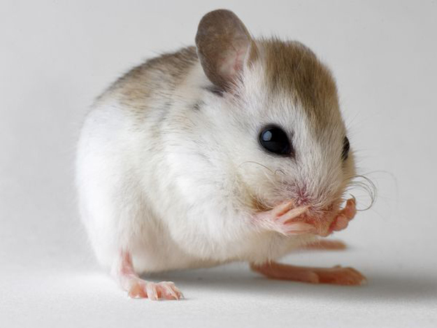 When fast-aging elderly mice with a usual lifespan of 21 days were injected with stem cells from younger mice at the Institute for Regenerative Medicine in Pittsburgh, the results were staggering. Given the injection approximately four days before they were expected to die, not only did the elderly mice live — they lived threefold their normal lifespan, sticking around for 71 days. In human terms, that would be the equivalent of an 80-year-old living to be 200.