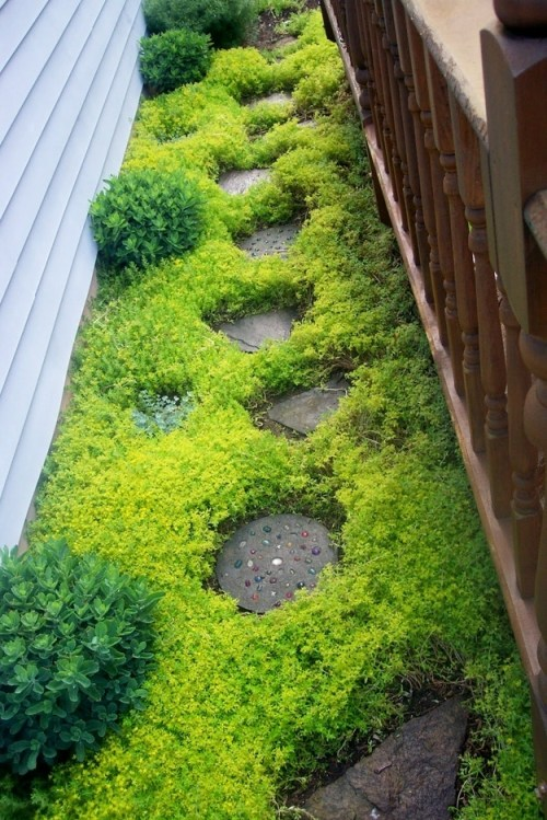 The sedum sarmentosum plant makes a fast-growing ground cover.