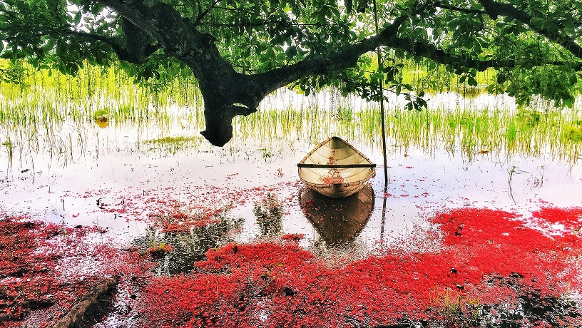 Red carpets of freshwater mangrove flowers, entertainment events, entertainment news, entertainment activities, what's on, Vietnam culture, Vietnam tradition, vn news, Vietnam beauty, news Vietnam, Vietnam news, Vietnam net news, vietnamnet news,