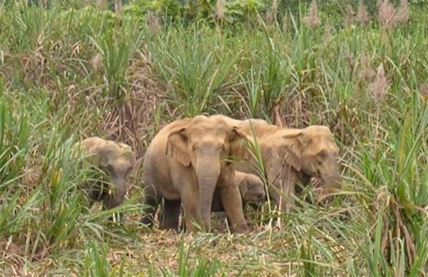 Pu Mat National Park, wild elephants, Vietnam economy, Vietnamnet bridge, English news about Vietnam, Vietnam news, news about Vietnam, English news, Vietnamnet news, latest news on Vietnam, Vietnam