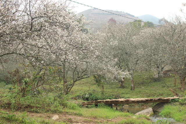Moc Chau: Lost in paradise of white apricot flowers, travel news, Vietnam guide, Vietnam airlines, Vietnam tour, tour Vietnam, Hanoi, ho chi minh city, Saigon, travelling to Vietnam, Vietnam travelling, Vietnam travel, vn news
