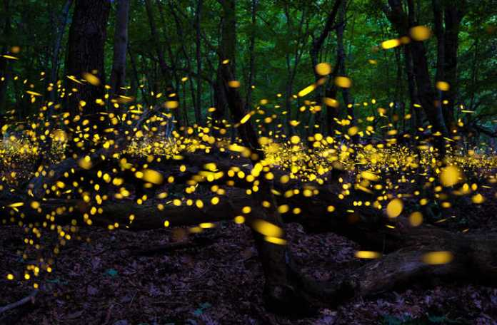 Resultado de imagen para bosque de luciernagas en mexico