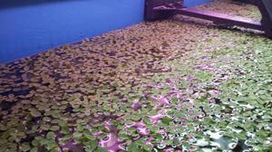 Salvinia Floating Plant