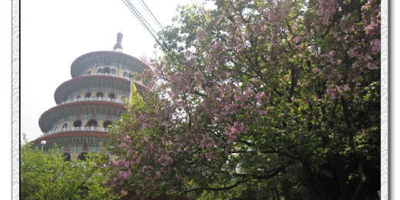 淡水天元宮之凋零的櫻花