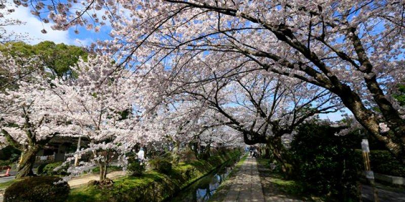 ▌京都。賞櫻▌必訪!浪漫指數破表♥哲學之道♥小橋流水。雪櫻滿開的河道美景(京都五間住宿推薦)