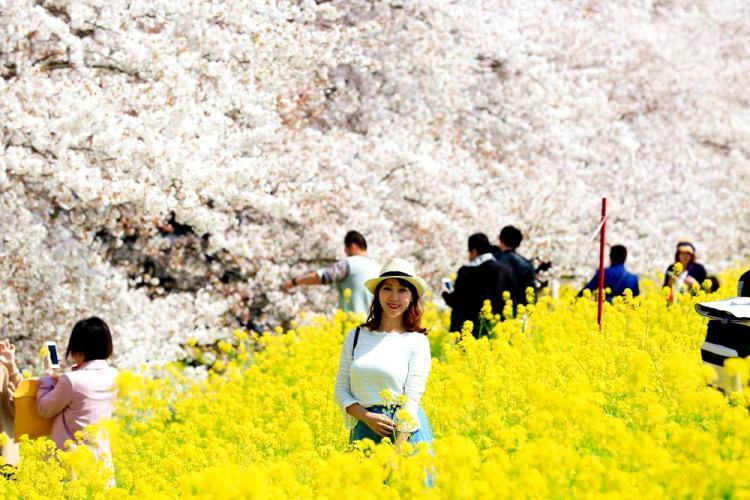 ▌東京近郊賞櫻▌驚為天人的花見【熊谷櫻堤】。櫻花與油菜花美到爆炸啊~