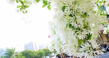 《台中賞花》大滿開!綠園道上流蘇樹上小小白色花兒開滿滿~快來賞花唷!
