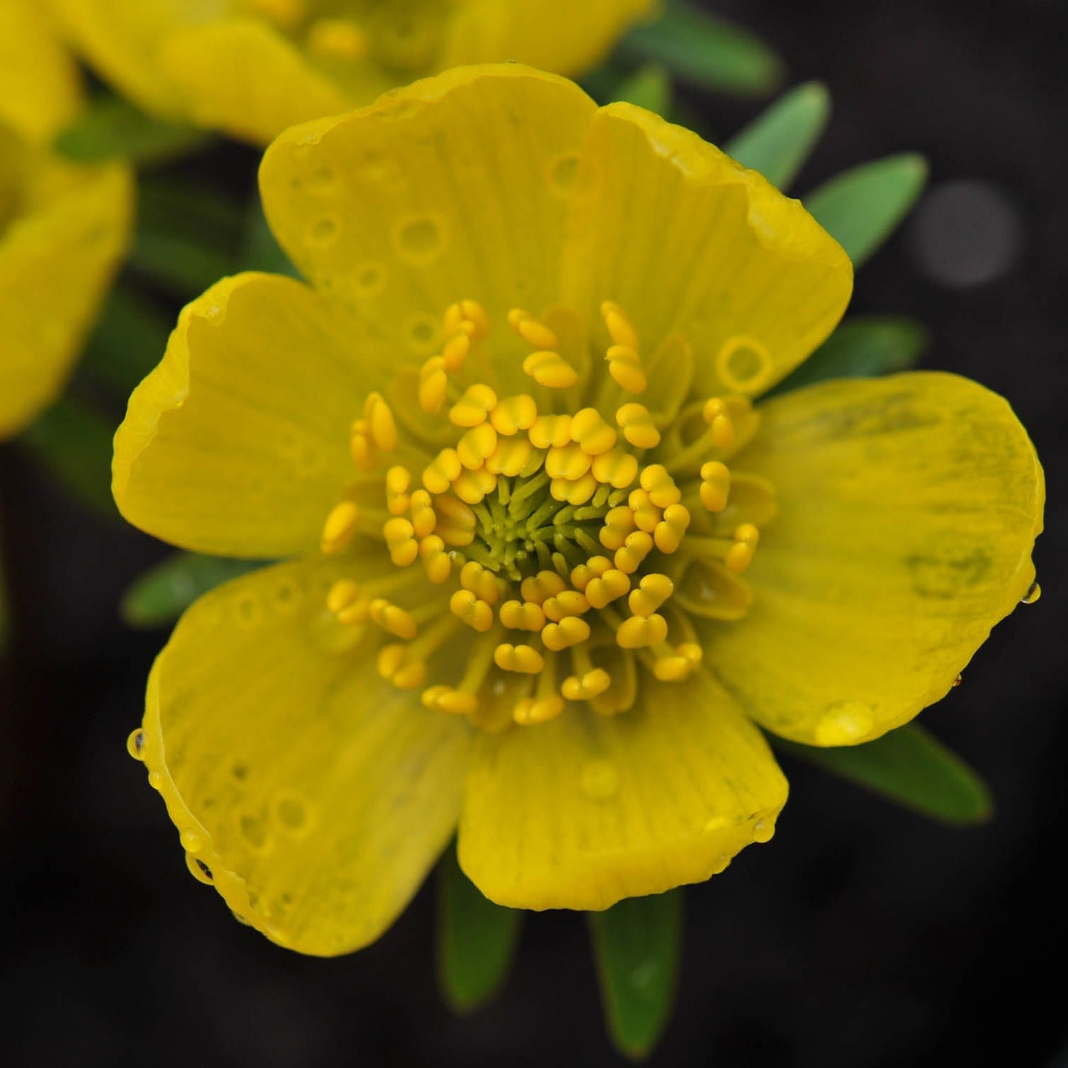 Buy Winter Aconite Bulbs Eranthis Hyemalis 25 Delivery