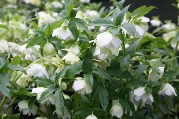 Buy Lenten Rose Hellebore Helleborus Hybridus Harvington