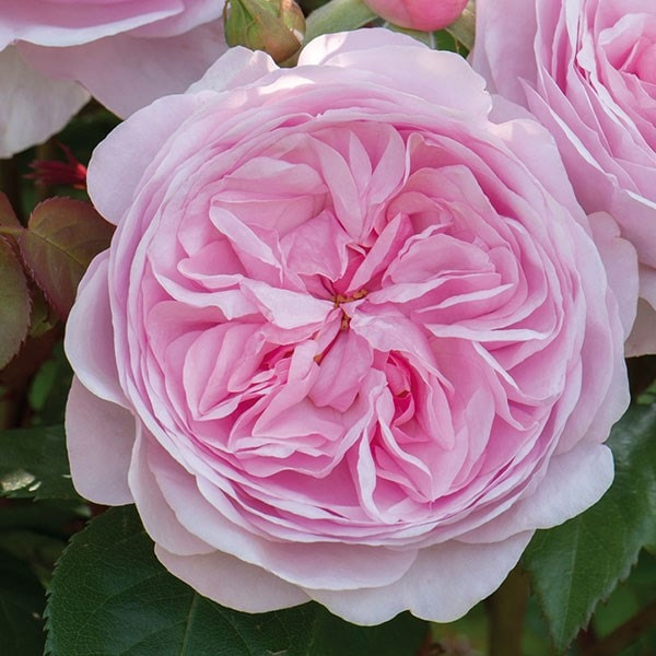 Buy Rose Olivia Rose Austin Shrub Rosa Olivia Rose
