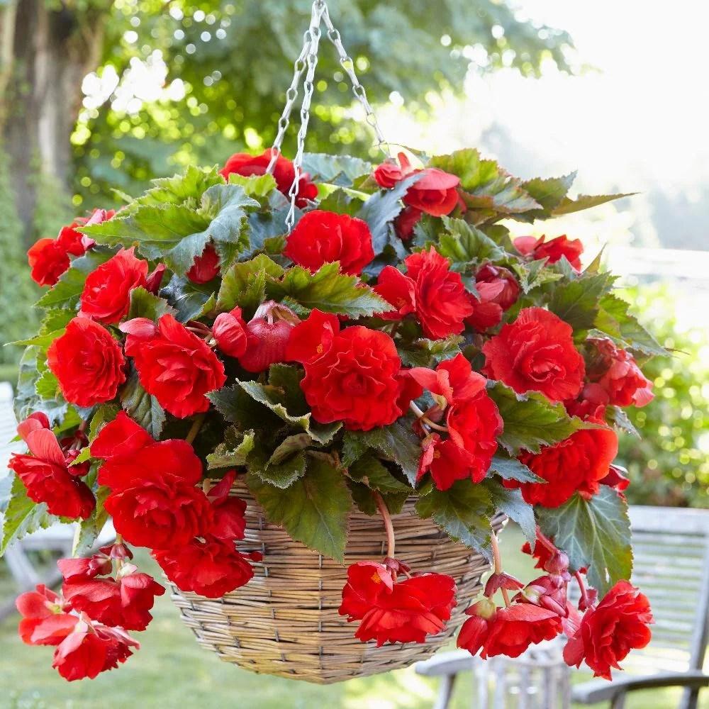 Buy Begonia Tuber Begonia Pendula Group Red Giant 399